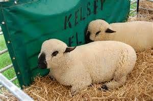 Hampshire Sheep Pictures Hampshire Sheep Sheep Sheep And Lamb