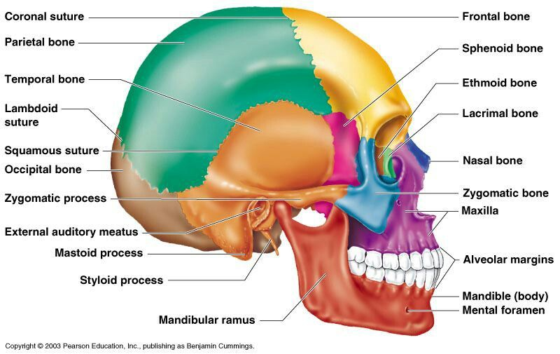 Human Skull Contain 22 Bones Studying Pinterest Anatomy Skull
