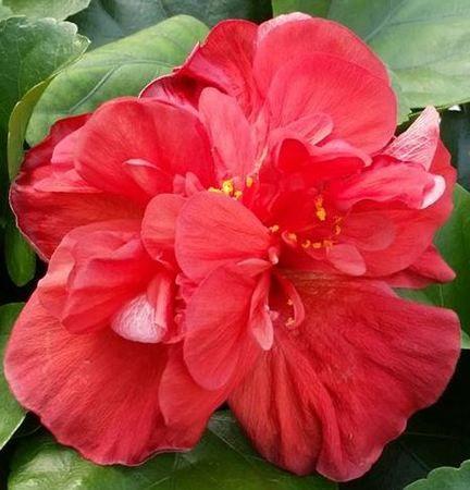 Hibiscus Flower Diffuser Hibiscus Hibiscus Plant Growing Hibiscus Hibiscus Flowers