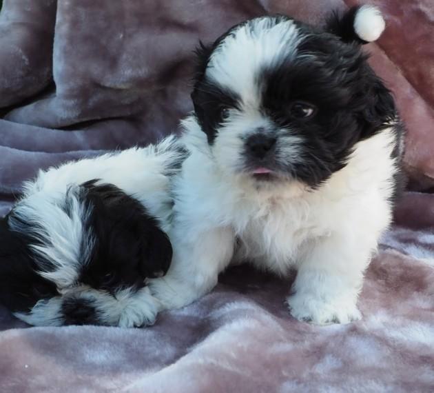 Shih Tzu Puppies For Sale California Street, CA