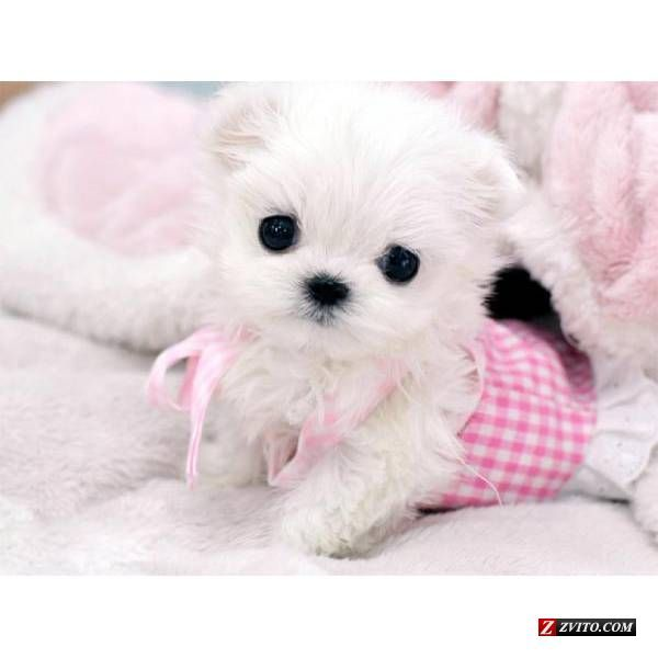 Micro Teacup Maltese Puppies Tiny Teacup Maltese Puppy