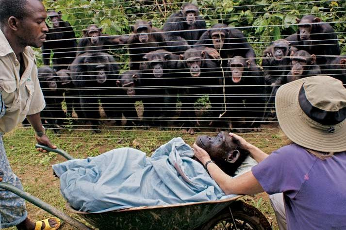 At a chimpanzee Rescue Center, more than a dozen residents form a gallery of grief, looking on as Dorothy—a beloved female felled in her late 40s by heart failure—is borne to her burial.