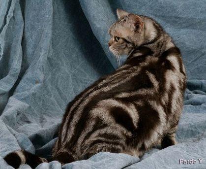 Classic Tabbies Vs Marble Bengals Tabby Cat Bengal Cat Tabby