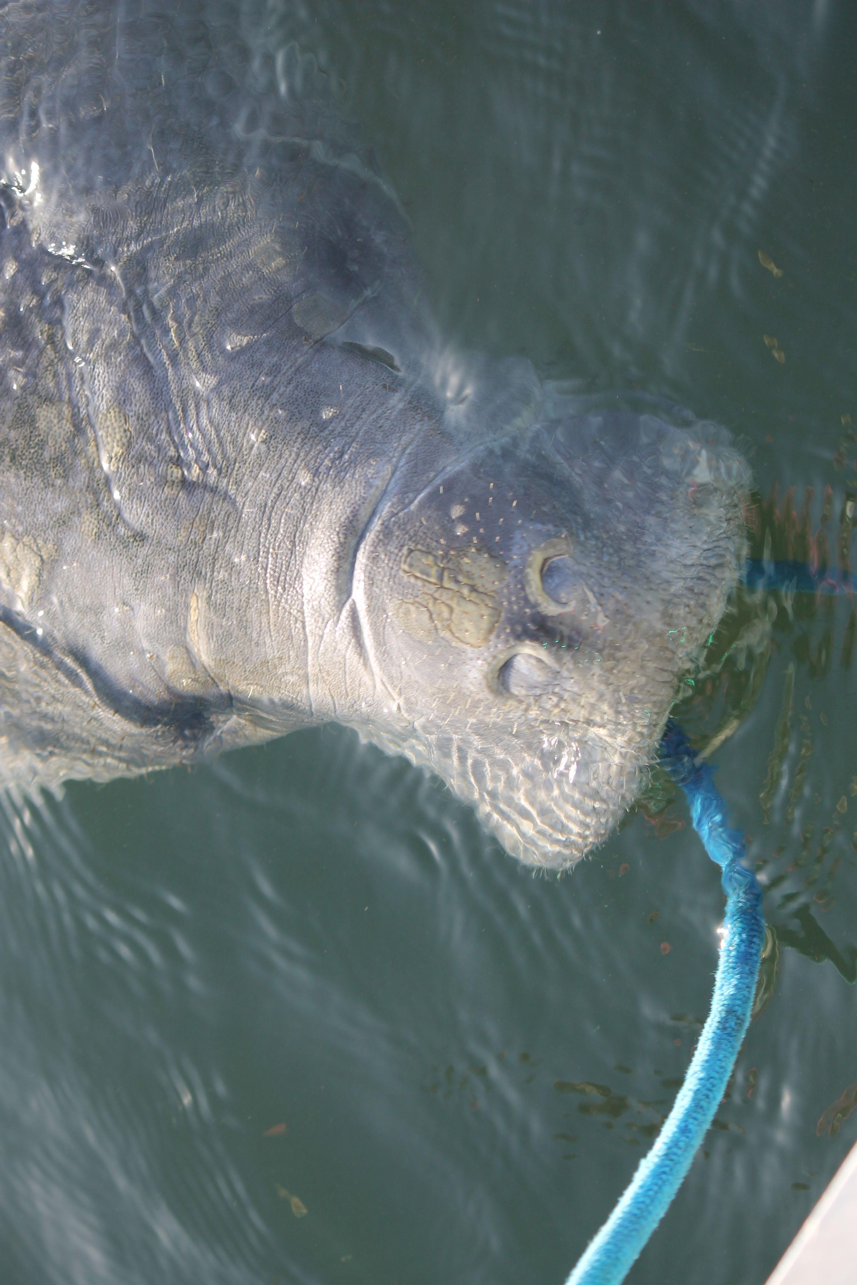 Florida manatee swim