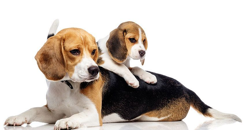 Introducing Puppy To Older Dogs Puppies Beagle Dog Dogs