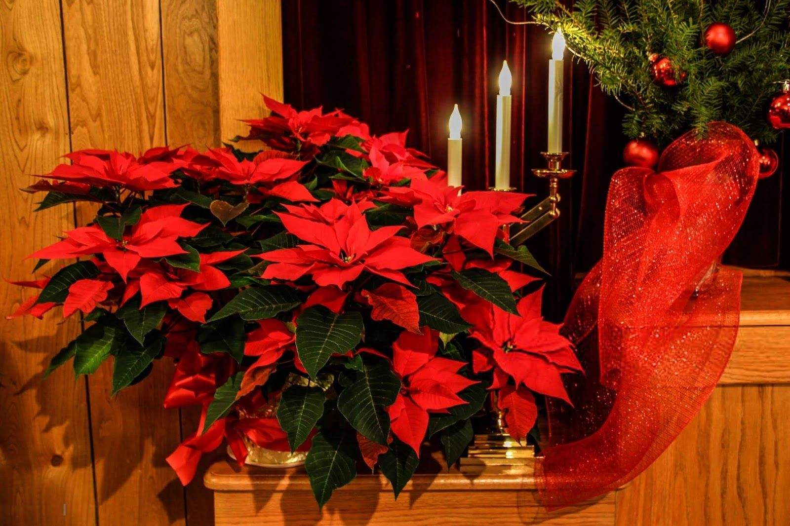 Beautiful Images of Christmas Flowers Free Download