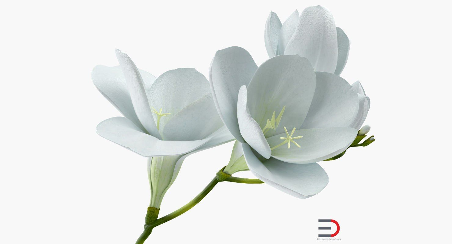 White Freesia Flower 3d Model Plants And Landscape 3d Models