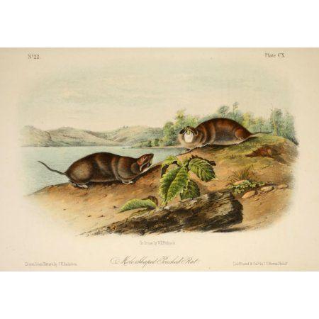 Quadrupeds of N America 1851 Mole-shaped Pouched Rat Canvas Art - JW Audubon (24 x 36)