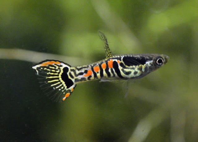 Types Of Guppies Guppies Are A Very Easy To Breed Fish Species They Also Adapt Quickly To Their Environment A Guppy Fish Aquarium Fish Fresh Water Fish Tank