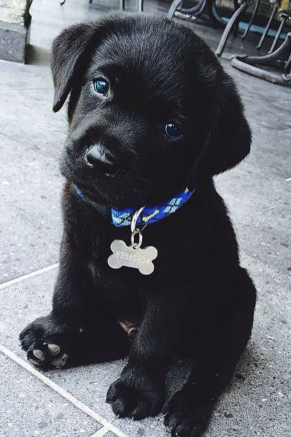 Cutest Black Lab Puppy Please Save This Pin Because For