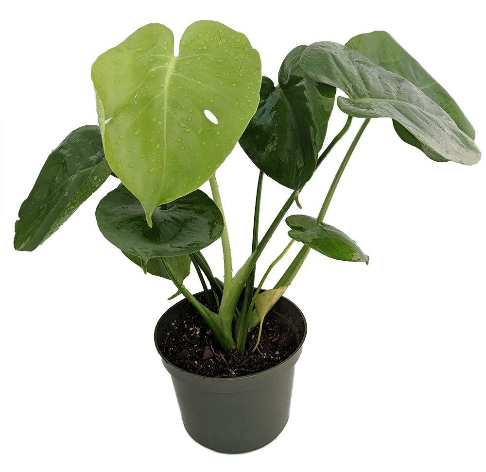 Hirts split leaf philodendron 6 pot monstera edible