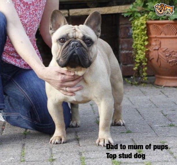 Multi Champion French Bulldog Pups Swansea Swansea Pets4homes French Bulldog Puppies Bulldog French Bulldog