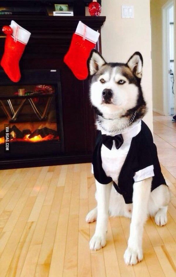 My Brother S Dog Looking Like A Sir Pet Halloween Costumes Pet