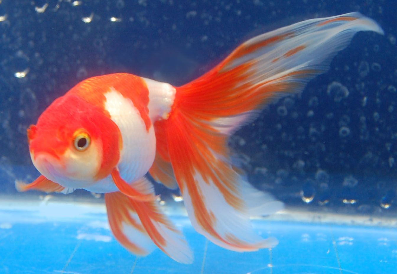 Goldfish shukin should have egg shape w long for Can tropical fish live with goldfish