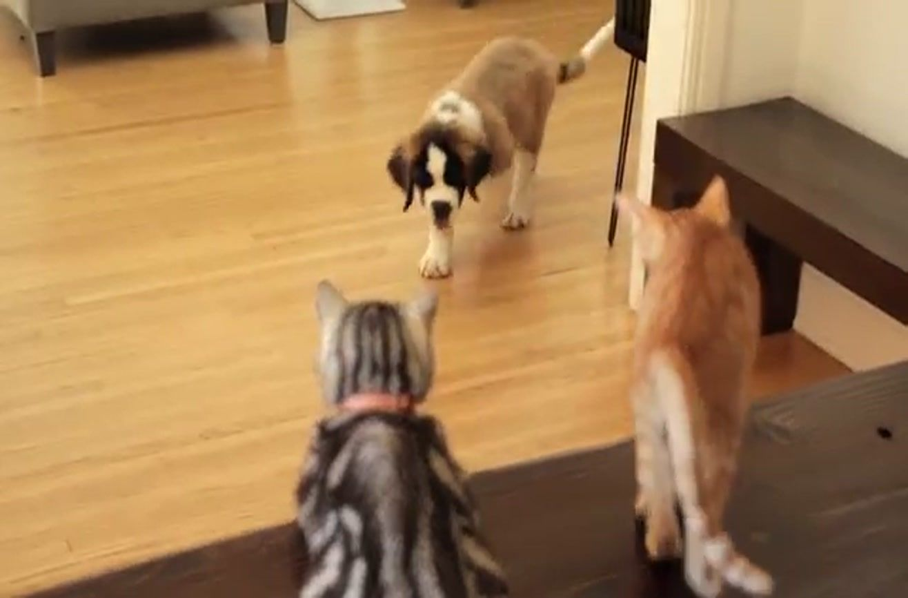 Older Cat Explains The Concept Of Dogs To A Kitten Older Cats Dogs Kitten