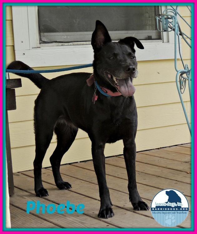 Adopt Phoebe On Adoption Black Labrador Retriever Dog Boarding