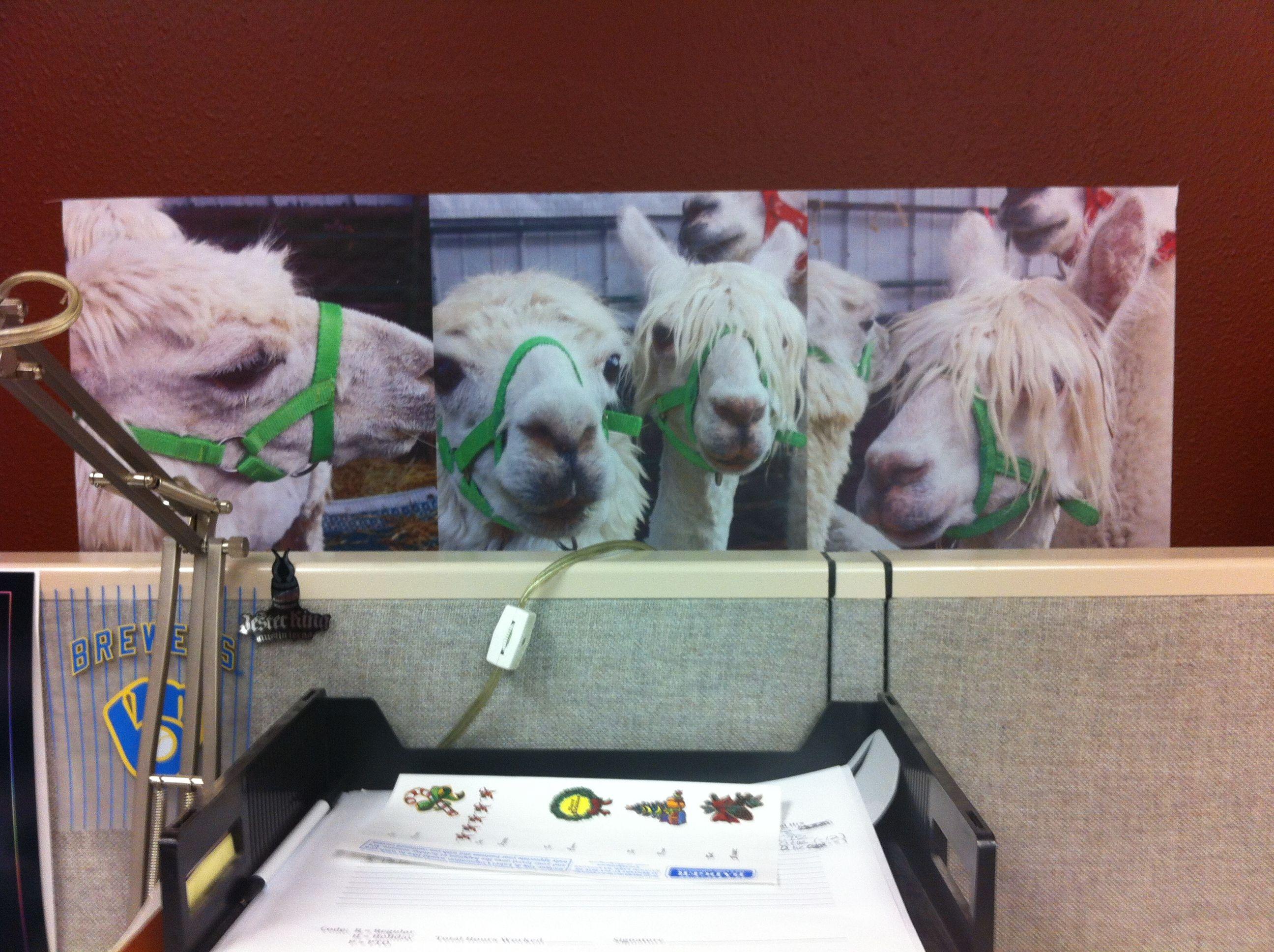 Office Llamas