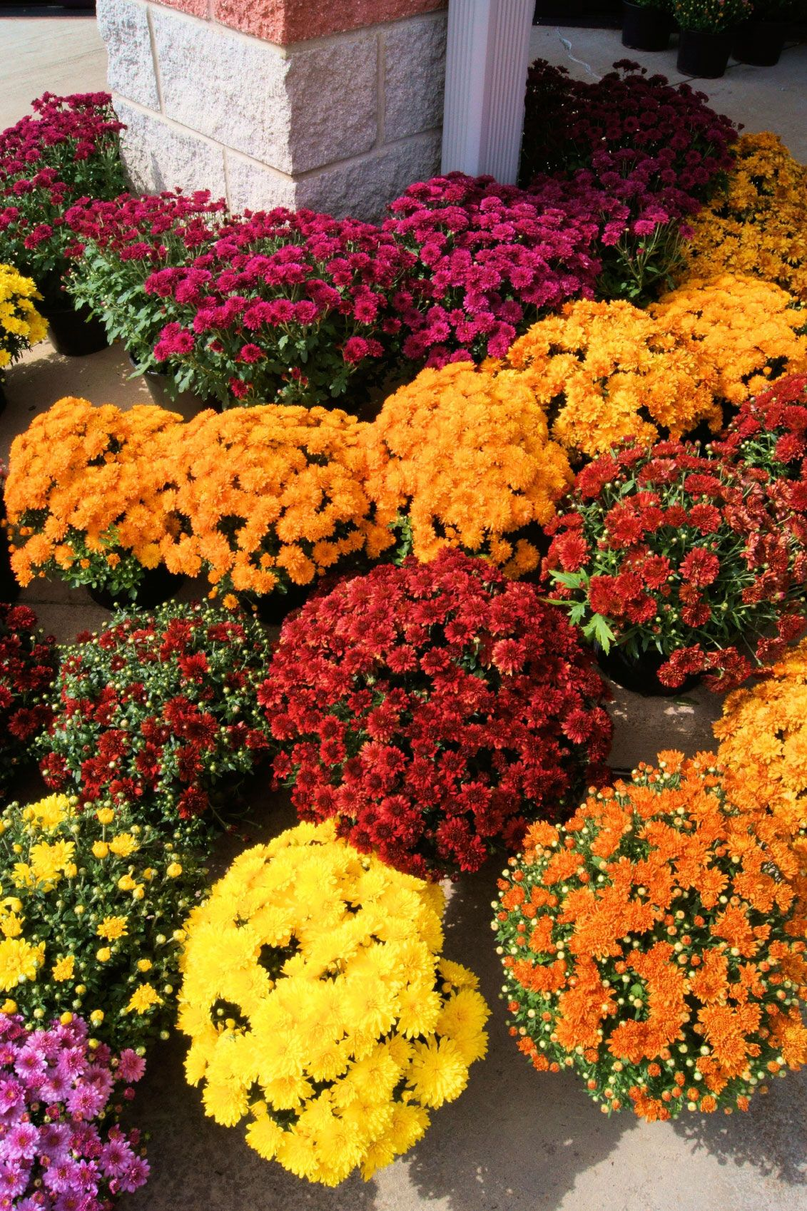Fertilizing Mums Tips For Feed Mum Plants Fall mums