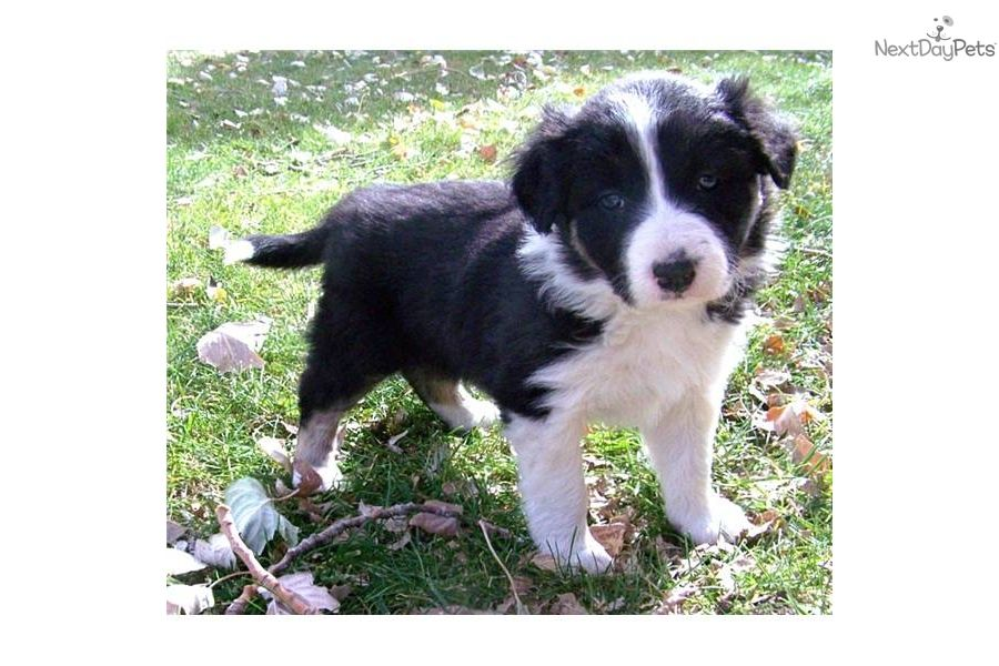 Border Collie Puppy For Sale Near Phoenix Arizona 4aa250ce F301
