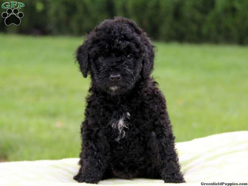Gallery For Gt Full Grown Black Maltipoo Black Maltipoo Maltipoo Cute Dogs