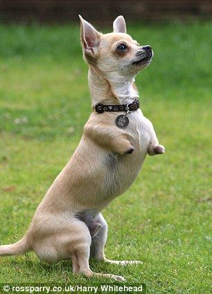 Skippy The Bush Chihuahua Dog With No Front Legs Hops Like