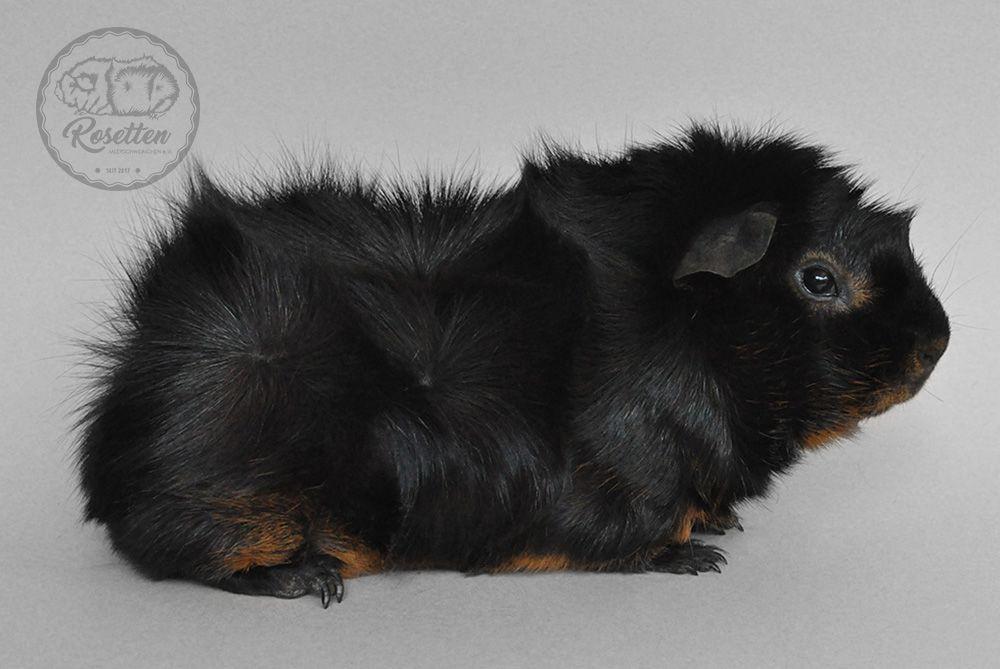 Meerschweinchen Rosette Schwarz Rot Loh Bild Kristallschweinchen Rosette Meerschweinchen Meerschwein Guineapigs Meerschweinchen Meerschwein Haustiere