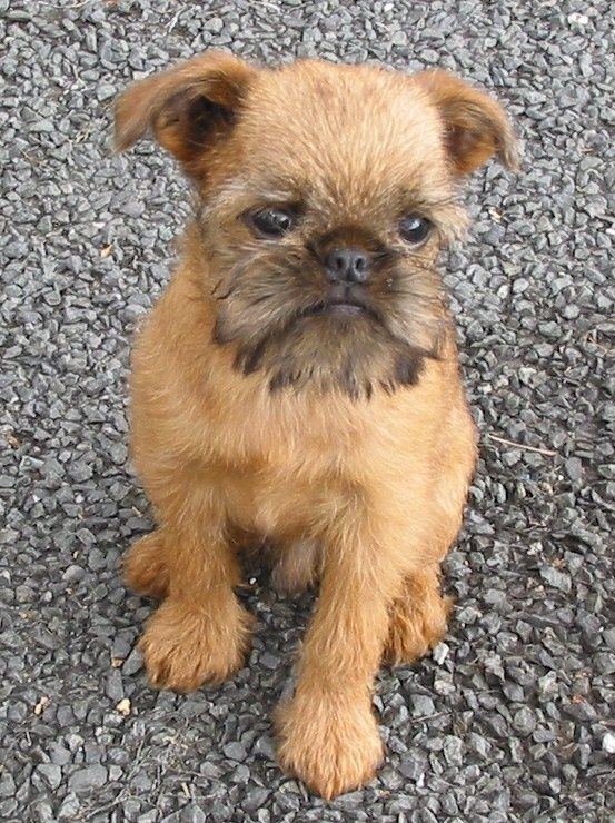 """Brussels Griffon reminds me of """"As Good As It Gets"""