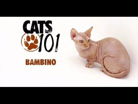 CATS 101 Bambino [ENG] YouTube Munchkin cat, Cats