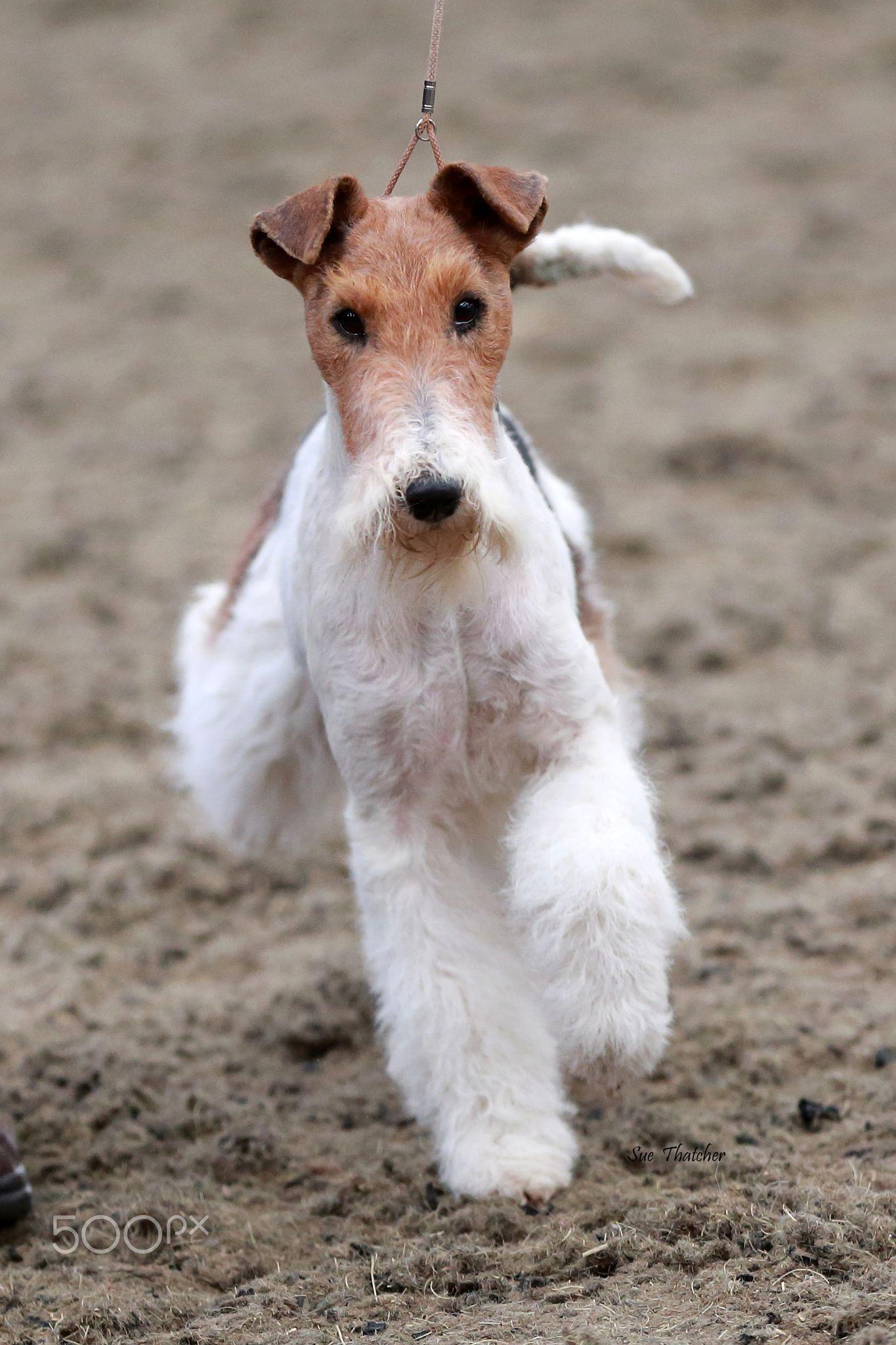 Wire Haired Fox Terrier - Wire haired Fox Terrier   Х Fox Terrier ...