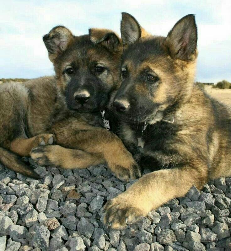 Highly Trained Dogs For Sale By The Ultimate German Shepherds