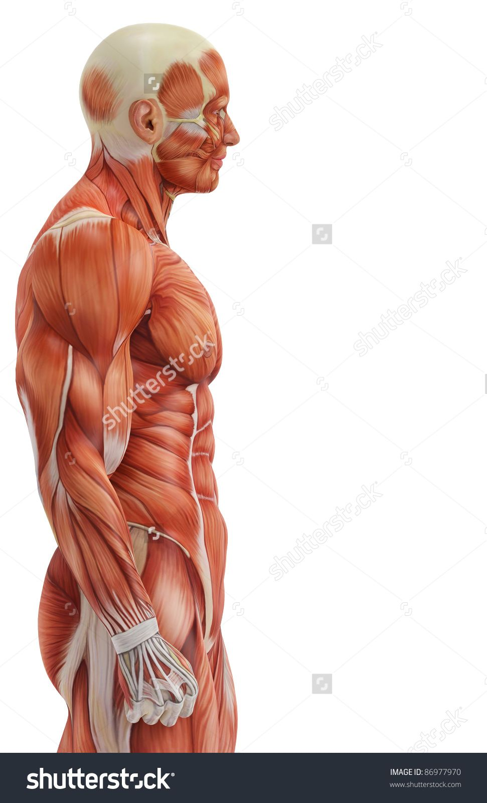 Image result for torso side muscles anatomy | accessories ...