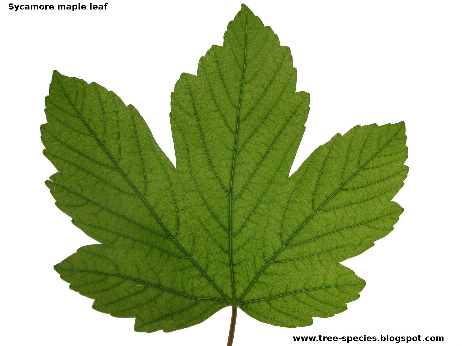 Pin By Sally Reynolds On Picture Of Tree Leaf Leaves Plant