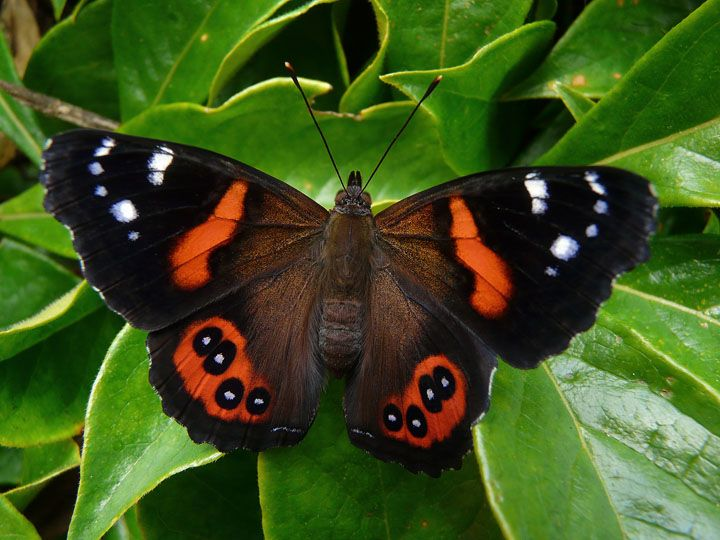 New Zealand Red Admiral - Vanessa gonerilla - Endemic to ...