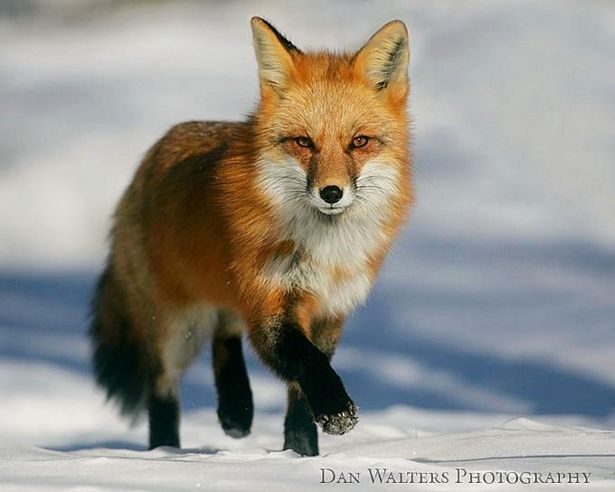 How To Build A Fox Trap Red Fox Fox In Snow Fox