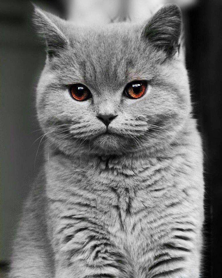 Pin Von Anna Krohmer Auf Fauna Katzen Bkh Katzen Kurzhaar Katzen