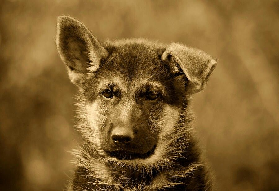 Gsd puppy photo in sepia mode by sandy keaton german