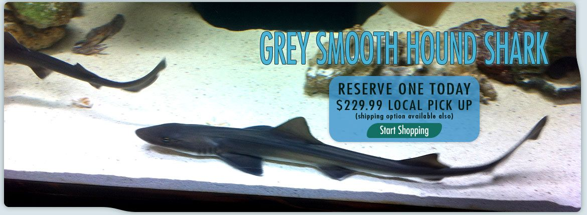 Grey smooth hound shark for sale at shark and reef shark