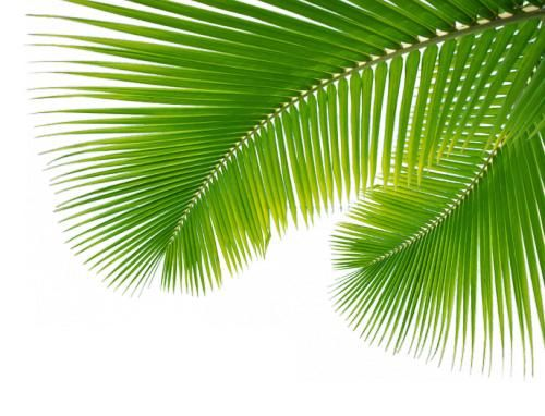 345 Website Palm Leaves Png 500 382 Png Immagini