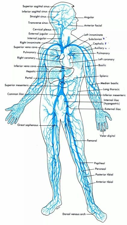 Venous System Cardiology Sonography Pinterest Medical