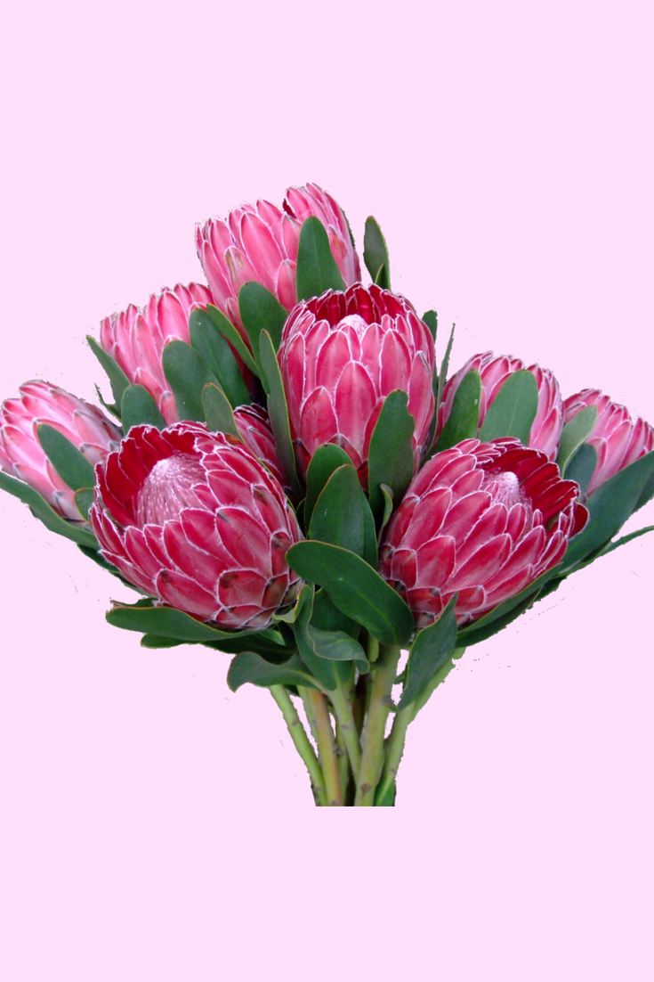 Beauty Grab Some Proteas For Yourself Or As A Gift Protea Flower Flowers Kendallfarms Farmfresh Protea Flower Protea Bouquet Protea Centerpiece