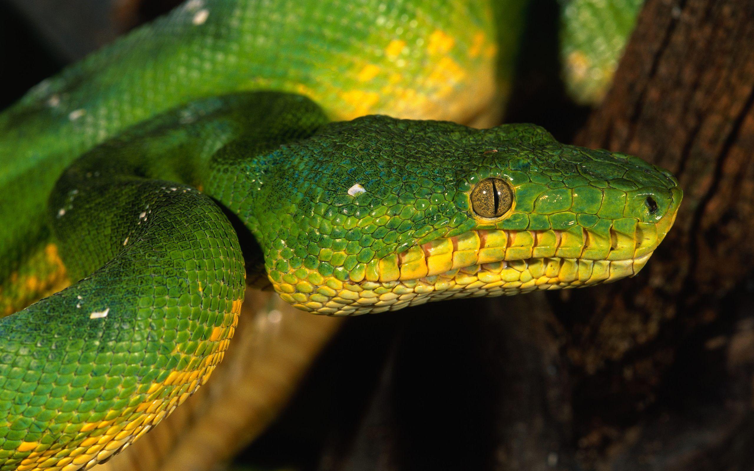 Snake Desktop Highdefinition television anaconda PNG clipart
