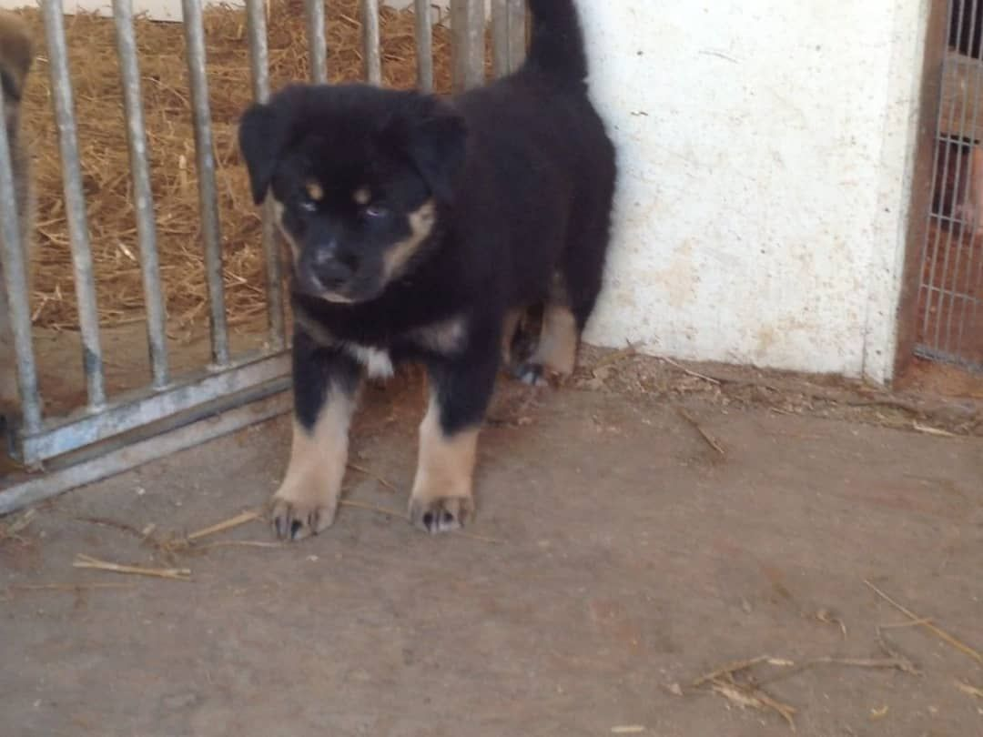 Puppies for sale rottweiler puppies for sale in 2020