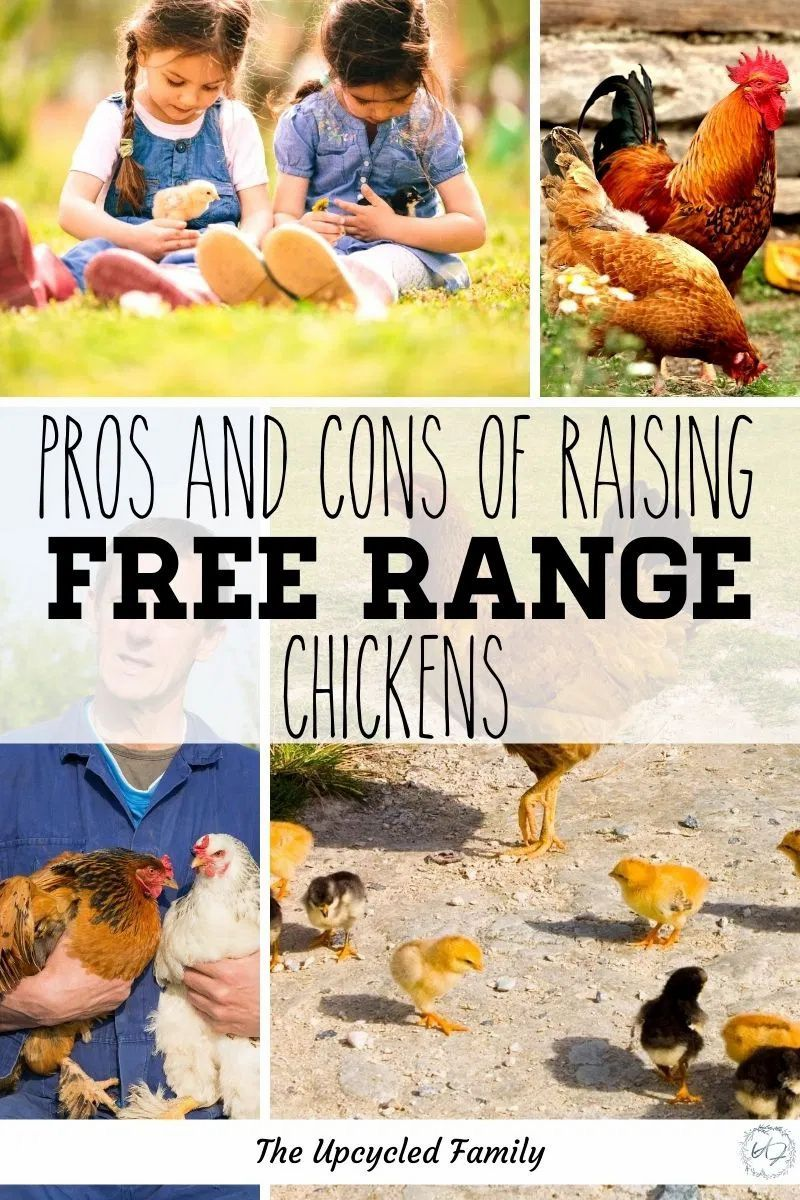 026eb52a5f18616a65818c19b55f5b6a - Gardening With Free Range Chickens For Dummies