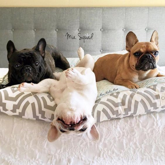 Pin By Carli Flynn On Frenchie Love French Bulldog Puppies Cute