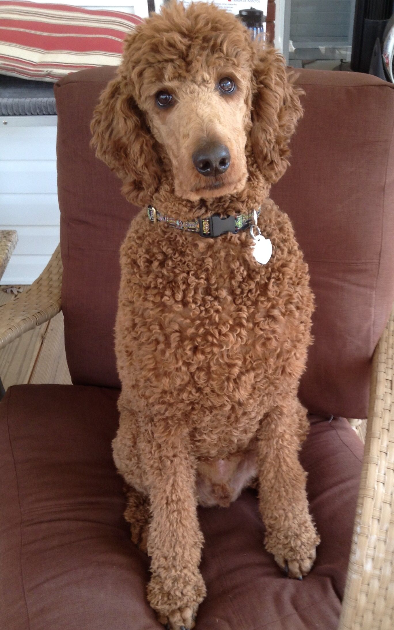 Andy My Handsome Standard Poodle He Is Such A Good Boy With