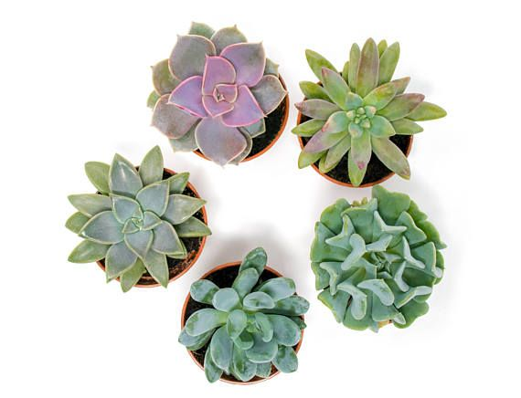 5 Pack Indoor Succulent Plants Fully Rooted in Planter Pots with Soil
