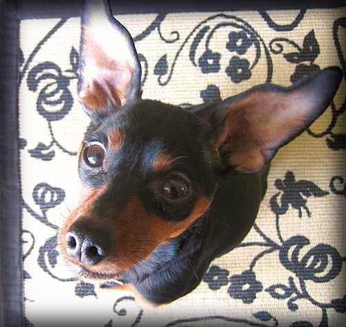 Maverick Mini pinscher, Cute animals, Miniature pinscher