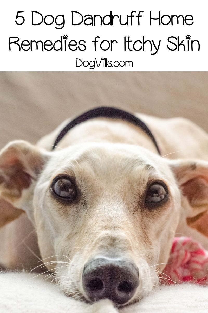 5 Dog Dandruff Home Remedies To Get Relief From Itchy Skin Dog Dandruff Home Remedies For Dandruff Puppy Dandruff
