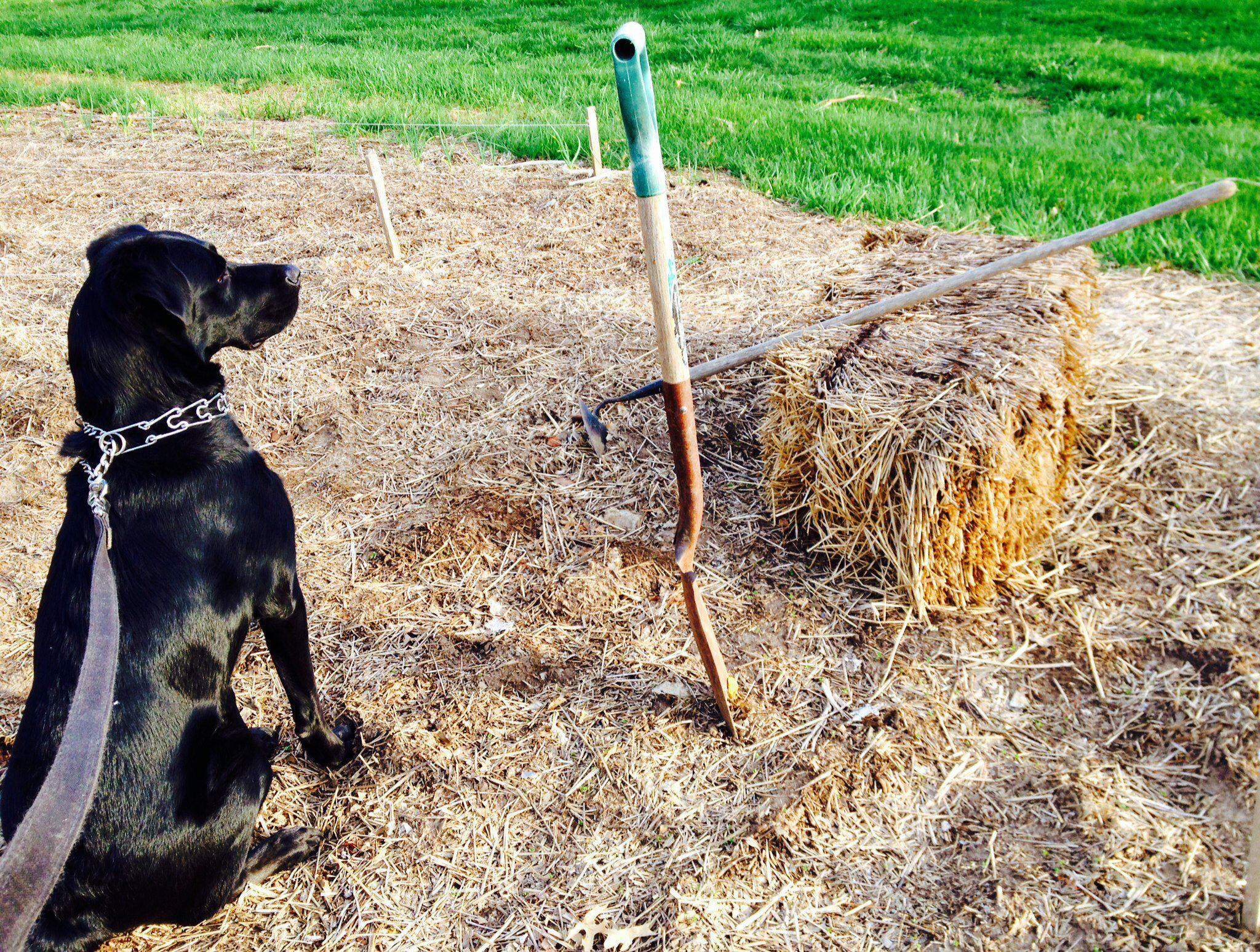 Cooper ready to do some veggie gardening!