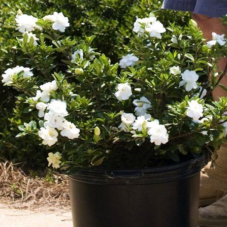 Crown Jewel Gardenia Developed By Oakmont Nursery Chatham